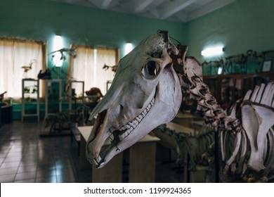 Creepy horse skull. Horse skeleton in anatomical laboratory in university.