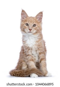 Creme Maine Coon cat / kitten sitting facing the camera looking curious isolated on white background