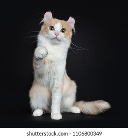 Creme with white adult American Curl cat on black background with paw in air