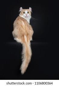 Creme with white adult American Curl cat on black background sitting backwards