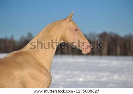 Cremello Akhal Teke Horse Stands Winter Stock Photo Edit