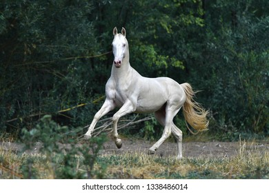 Akhal Teke Images Stock Photos Vectors Shutterstock