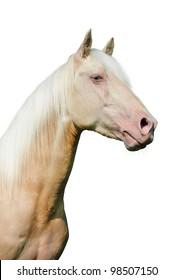 Cremello (creme pureblood horse) portrait on the white background