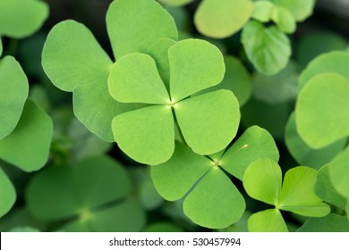 Crenatae Water-clover's fresh bright green leaves(Marsilea minuta)