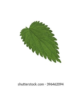 Crenate Green leaf isolated on a white.