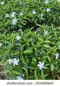 Crepe jasmine is a variant of jasmine. The flowers are small white, with abundant green leaves. Good for planting as a hedge and garden plant. Selective focus.