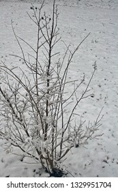 crepe myrtle covered in snow in the winter