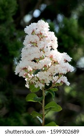 Crepe Myrtle or Lagerstroemia indica or Crape myrtle or Crepeflower deciduous tree plant with single branch full of open blooming white small flowers surrounded with dark green leaves planted in local