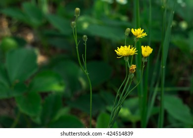 Crepis Family, As A Rule, Annual Plant Of The Family Asteraceae (Asteraceae)