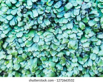 Crescent-cup liverwort, Lunularia cruciata, liverwort growing on stone walls in Galicia