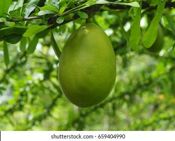 Crescentia alata fruit on tree, mexican calabash, morrito or winged calabash the herbal plant