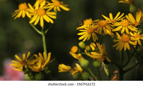 Cressleaf Groundsel Yellow Flowers Packera glabella in Summer Meadow