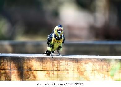 Crested Barbet in Okavango