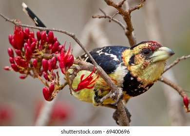 Crested Barbet, South Africa