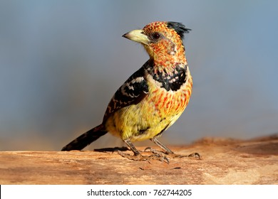 A crested barbet (Trachyphonus vaillantii) sitting on a tree branch, South Africa