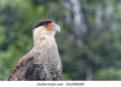 The crested Caracara Falcon is a stunning predator hunting for mice and other small animals. His eyes can see amazingly sharp.
