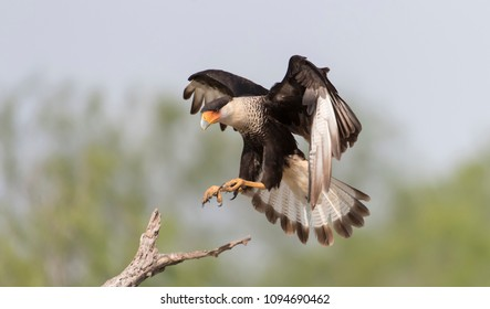 Crested Caracara st ranch in southern Texas, USA