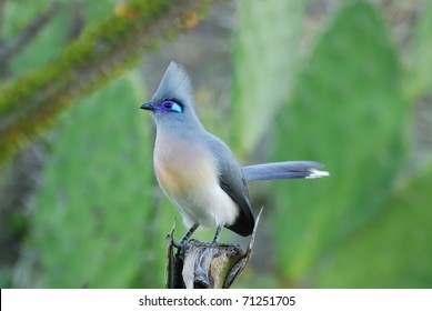 Crested Coua (Coua cristata) in the Berenty Nature Reserve, southern Madagascar