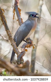 Crested Coua - Coua cristata, unique beautiful endemic bird from Madagascar dry forest - Kirindy.