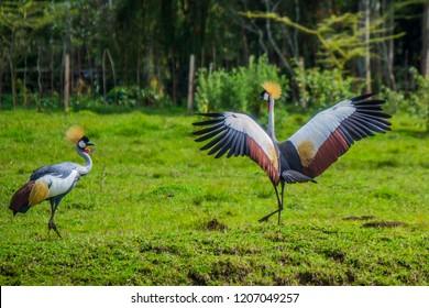 crested crane in green grassland