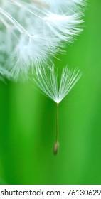 crested Dandelion