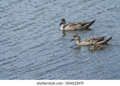 Crested Duck (Lophonetta specularioides) with ducklings in Ushuaia area, Land of Fire (Tierra del Fuego), Argentina