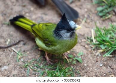 Crested finchbill (Spizixos canifrons), tropical bird