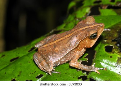 Crested forest toad (Rhinella margaritifer)