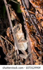 Crested Forest Toad (Rhinella margaritifera). Roosting at night in the rainforest understory. In Morona Santiago province, Ecuador