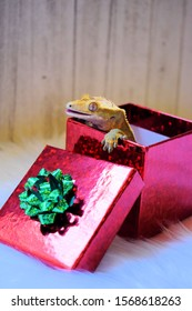 Crested Gecko In A Christmas Present Box.