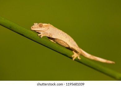 Crested gecko (Correlophus ciliatus) is a species of gecko native to southern New Caledonia. Crested geckos are among the largest gecko species and typically range from 6–10 inches