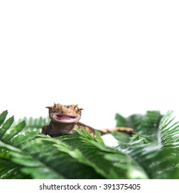 A Crested  gecko with his mouth open, isolated against a white background, with copyspace for text