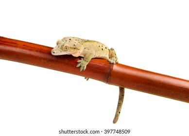 A crested gecko holding onto a bamboo pole, isolated on a white background
