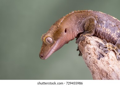 Crested Gecko.  Isolated against a muted green background. Focus on the eyes. Room for copy.