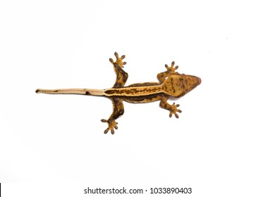 Crested gecko isolated on white. Top view