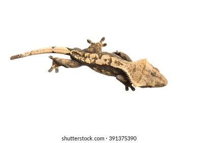 Crested  Gecko isolated on a white background