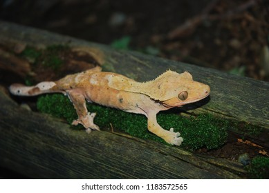 Crested gecko on mossy wood.