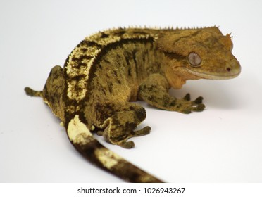 crested gecko on white