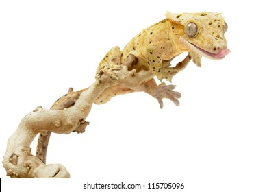 Crested gecko on white background.