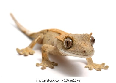 Crested Gecko on a white background