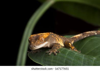 Crested Gecko Perched on Leaf