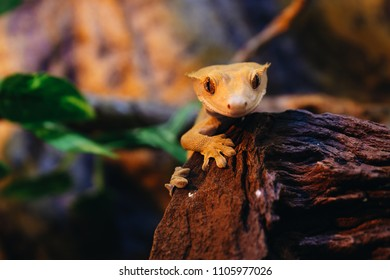 Crested Gecko Portrait