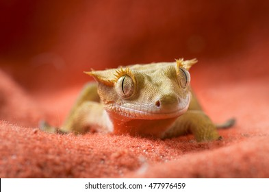 Crested gecko portrait on a red background