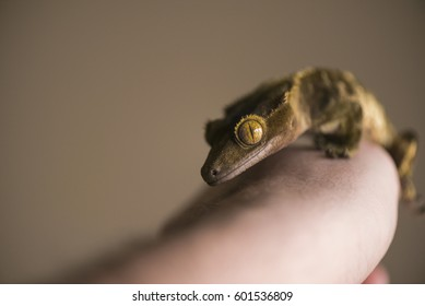 Crested gecko resting on hand close up. Reptile macro with intense eyes.