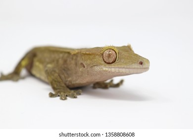 Crested Gecko (Rhacodactylus ciliatus) also known as New Caledonean Gecko