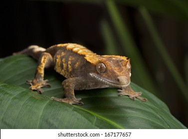 Crested Gecko Side Profile