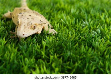 Crested gecko standing on some fake grass