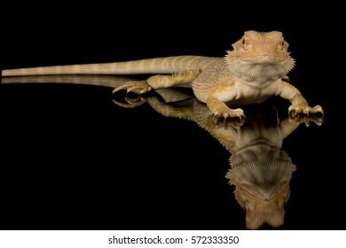 Crested gecko - studio image - isolated on black