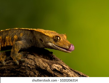 Crested gecko with tongue sticking out