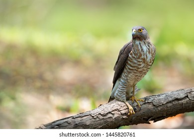 Crested Goshawk ( Accipiter trivirgatus ) bird resting  on a log. Crested Goshawk